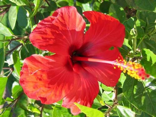Цветок гибискуса