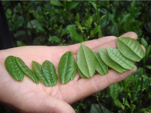 Листья чая Лю Ань Гуа Пянь