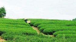 Чайная плантация, где собирают Да Хун Пао