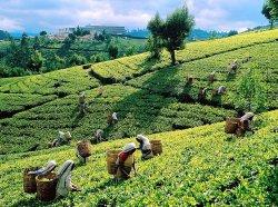 Черный цейлонский чай - описание