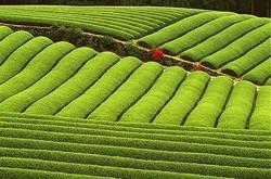 Климат, географические условия и производство чая