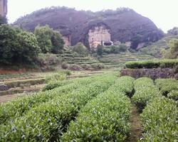 Влажность играет огромное значение при выращивании чая