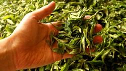 Чайные листья - отличное удобрение