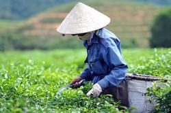 Чайная плантация во Вьетнаме