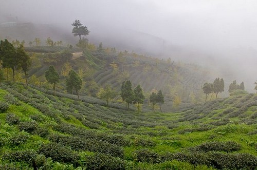 Тайваньский чай - секреты производства