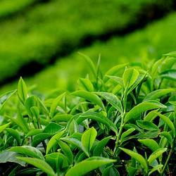 Сырье для разных сортов чая