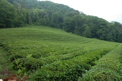 Адлерский чай — описание и основные характеристики