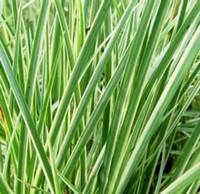 Трава аир